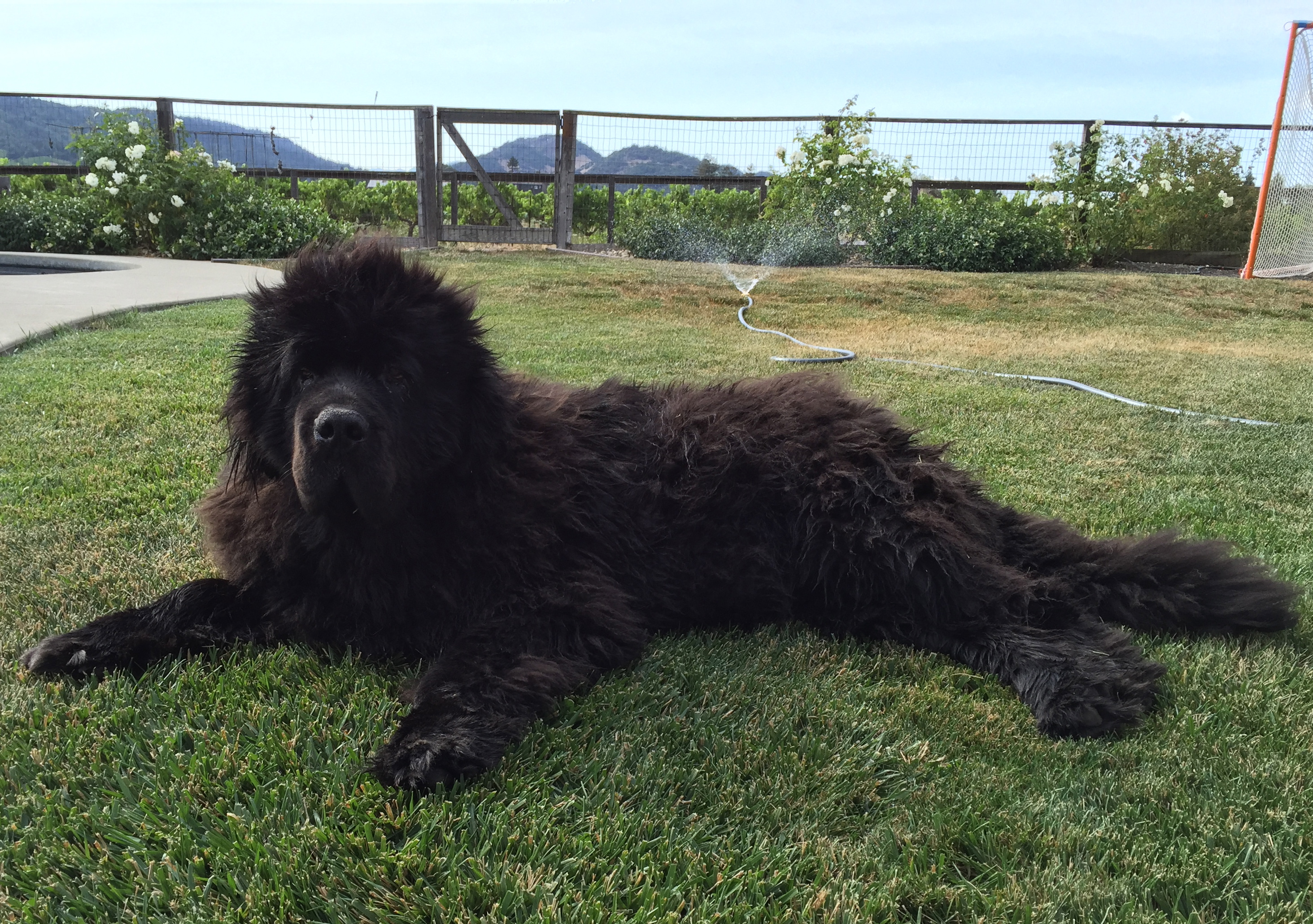 Dearden-Wines_Newfoundland-Dog