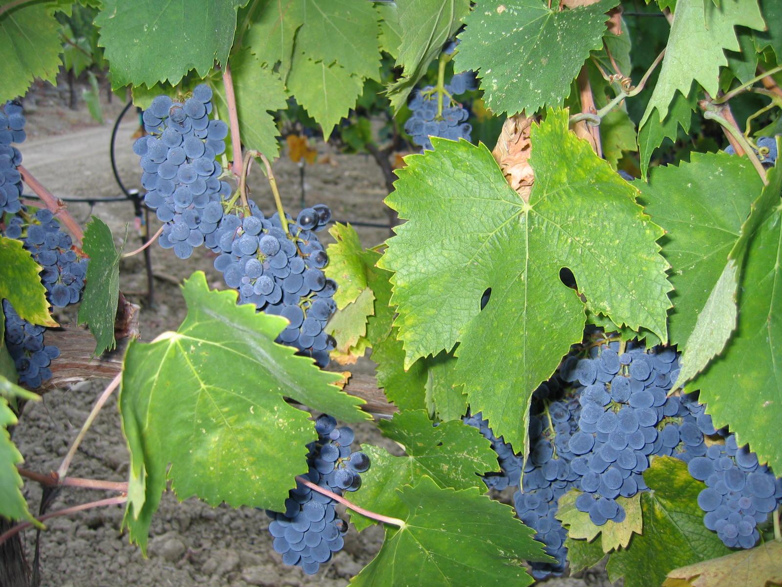 Dearden-Wines_Vyd-Page-Inglewood
