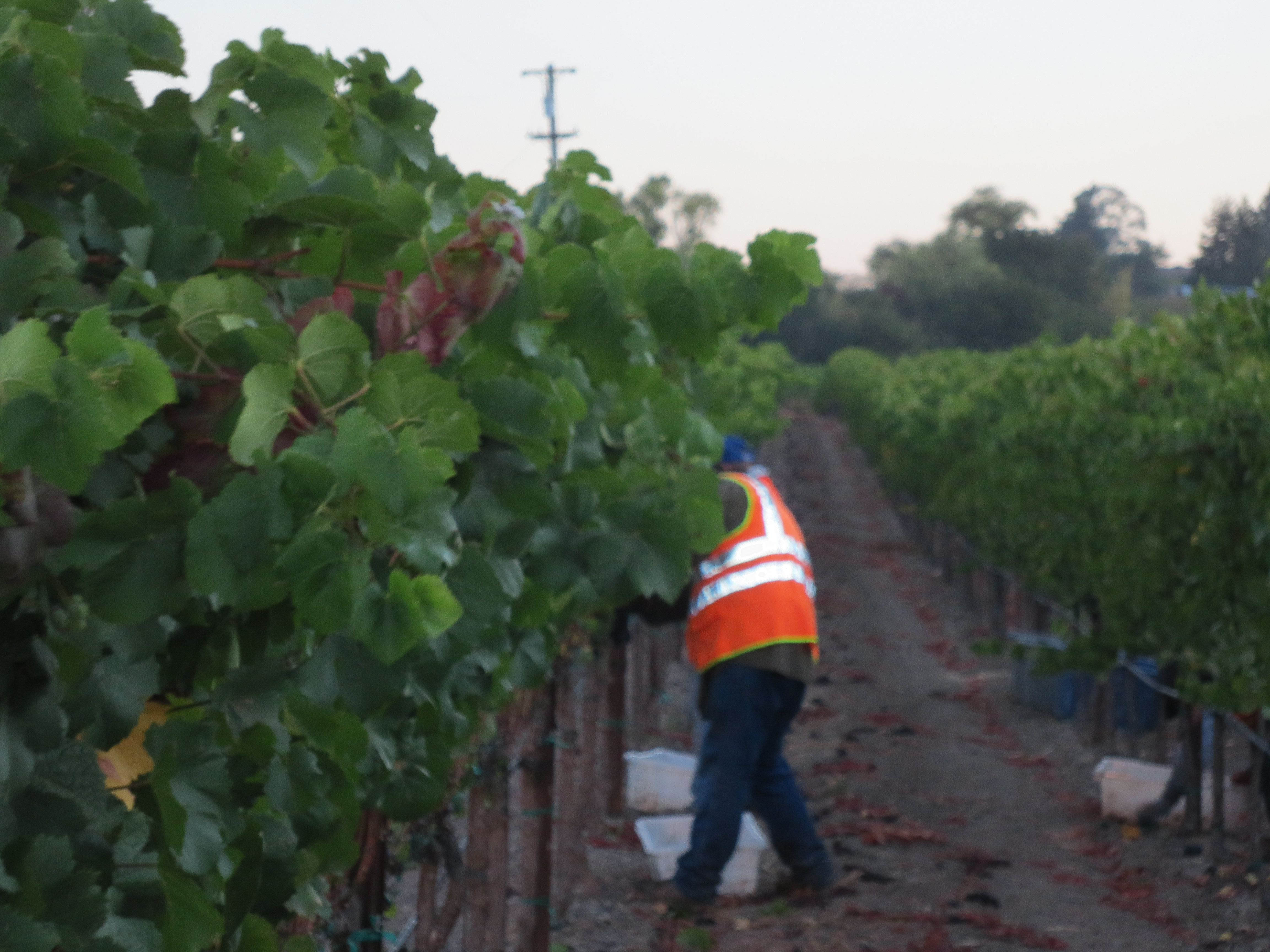 Dearden-Wines_Harvest-in-Vyd