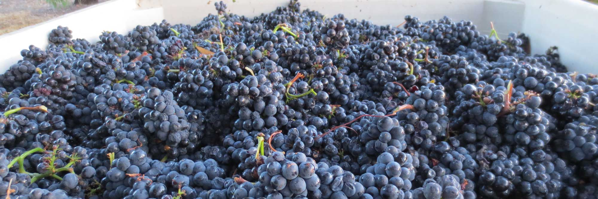 Dearden Wines Harvest