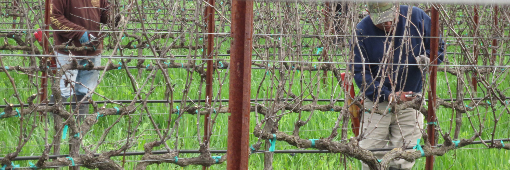 Dearden-Wines-Pruning-2016